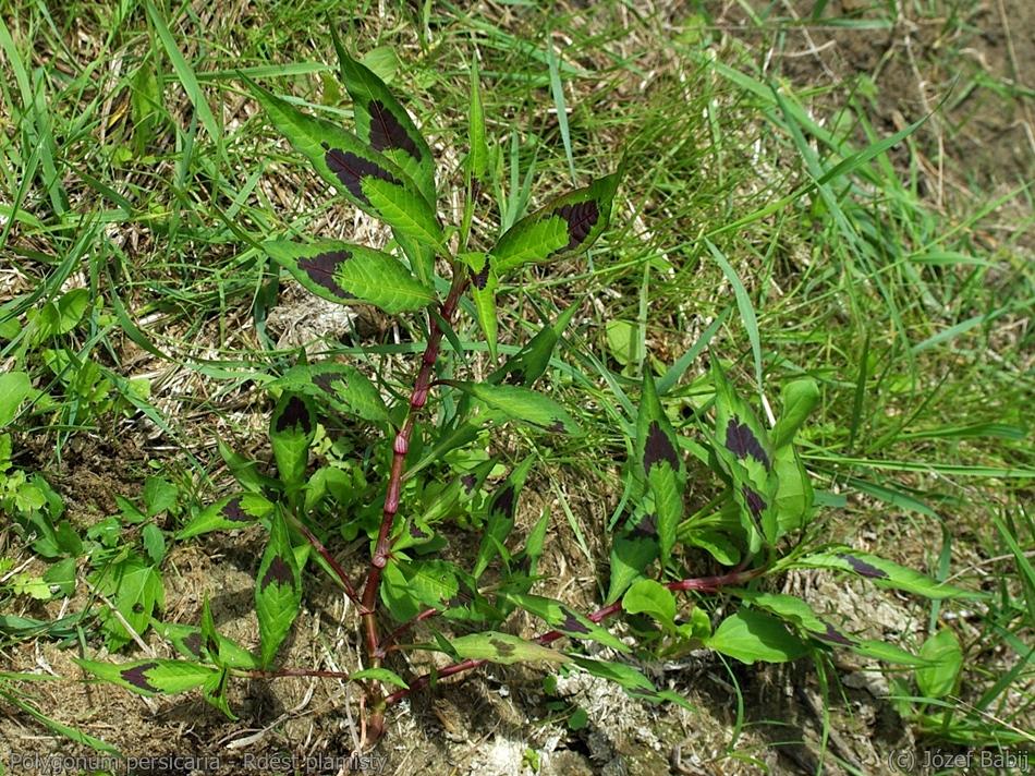 Polygonum persicaria - Rdest plamisty pokrój