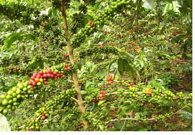 Kopi (rubiaceae) - pustakapengetahuan.com