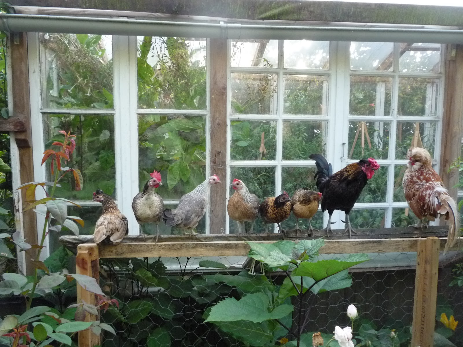 choosing chickens for a garden or homestead old breeds u0026 organic