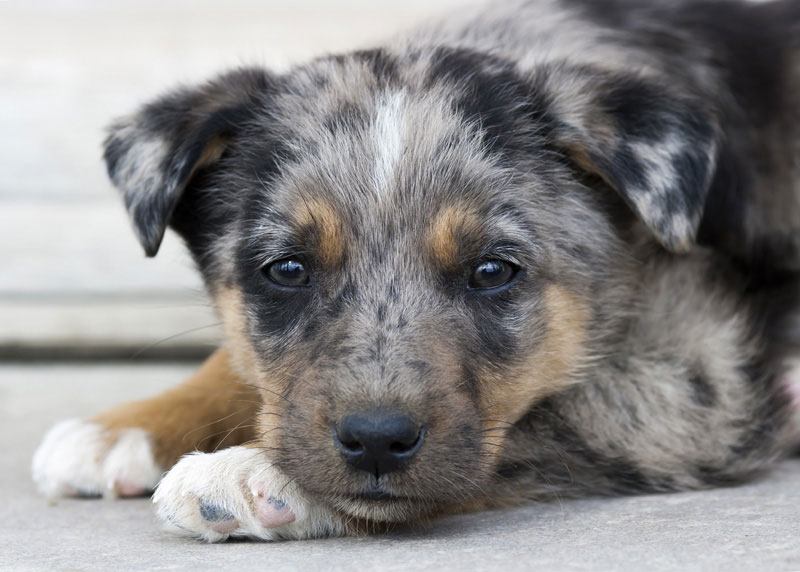 A Cute Puppy Rests With Its Head On Paws At The Animal Shelter