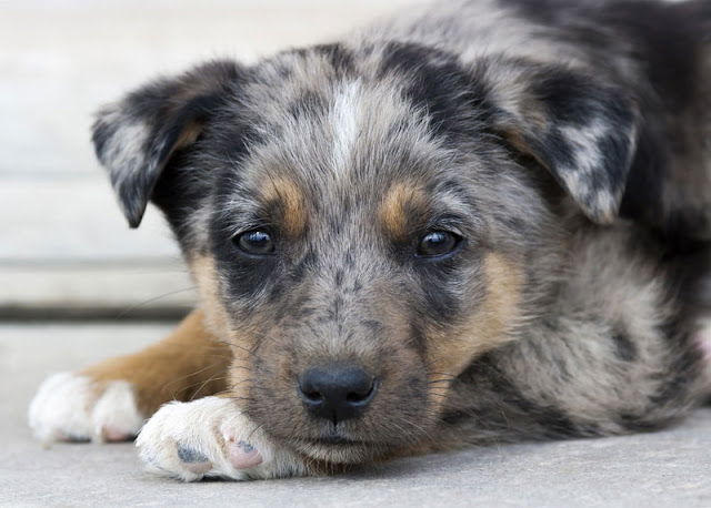 A cute puppy rests with its head on its paws at the animal shelter