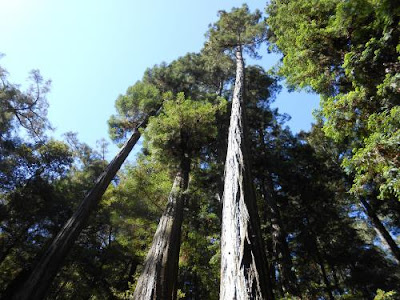 redwoods trees, spiritual nature, spirituality, nature, muir woods, mt tam