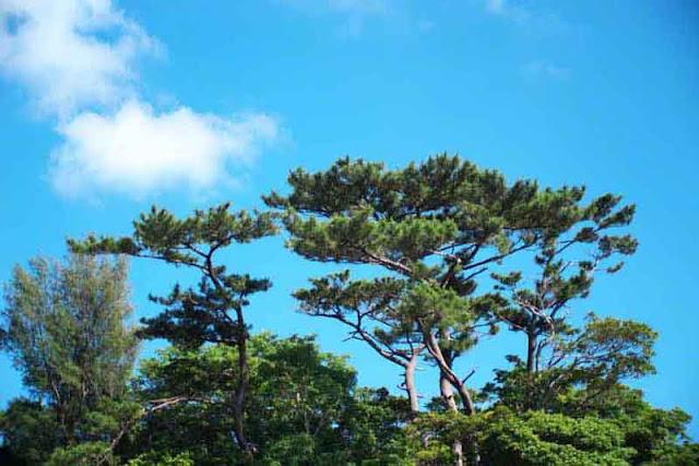 nature, trees, sky, Okinawa