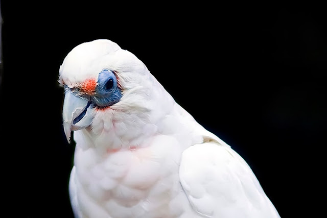 Cockatoo Types – 10 Different Types of Cockatoos - Cockatoos Species
