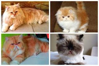 Daftar Harga Kucing Persia untuk Semua Jenis dan Usia