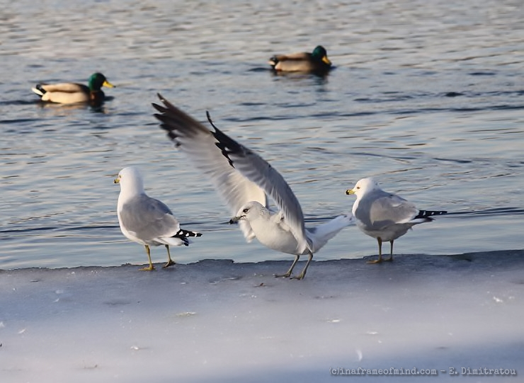 seagulls on frozen lake
