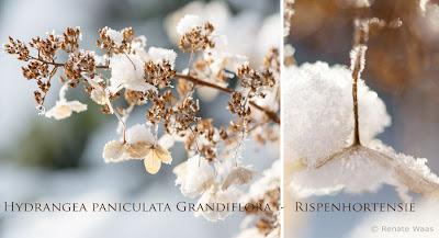 Hortensien sehen auch im Winter gut aus