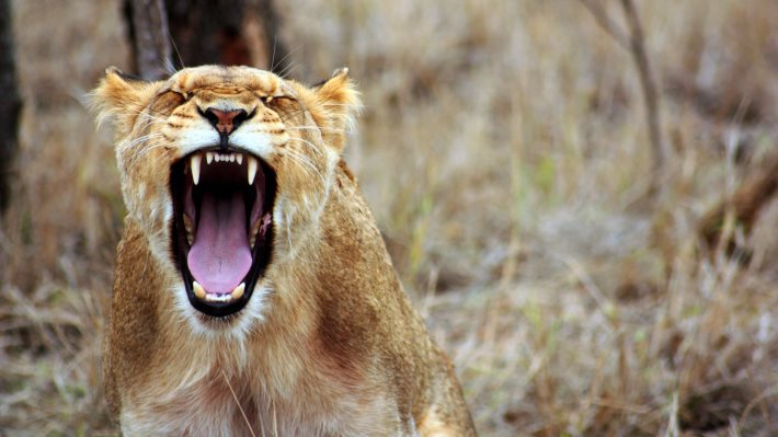 Wallpaper: Lioness in the wild Africa