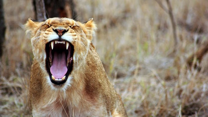 Picture 18: Lioness in the wild Africa