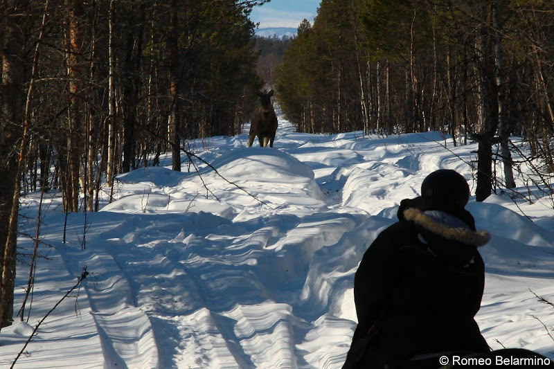 Moose in the Path Outdoor Winter Activities in Sweden's Lapland