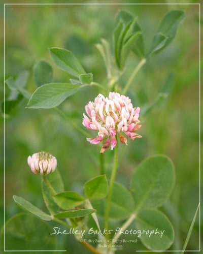 Alsike Clover. Copyright © Shelley Banks, All Rights Reserved.
