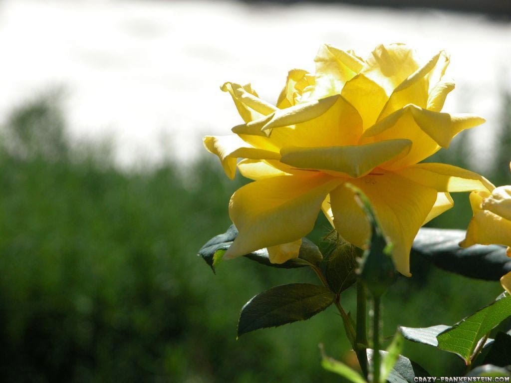 Yellow Roses Wallpapers - keywords HERE