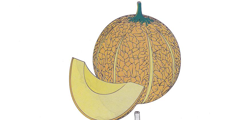Gambar Koleksi Gambar Mewarnai Buah Melon Semangka Anak Makan