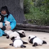 Best Job Ever: This Woman Hugs Pandas And Is Paid $32,000