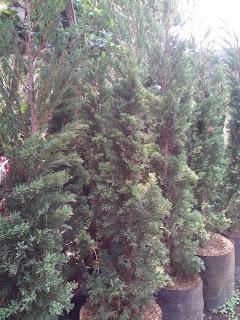 Jual pohon cemara tretes harga murah