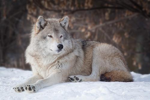 Lobos Salvajes Blancos