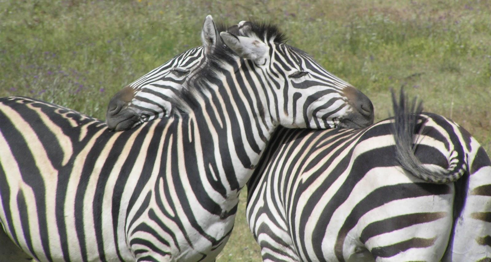Rwanda On The Wing Zebras Rhinos And Giraffes Oh My A