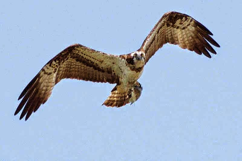 Sea Hawk in flight
