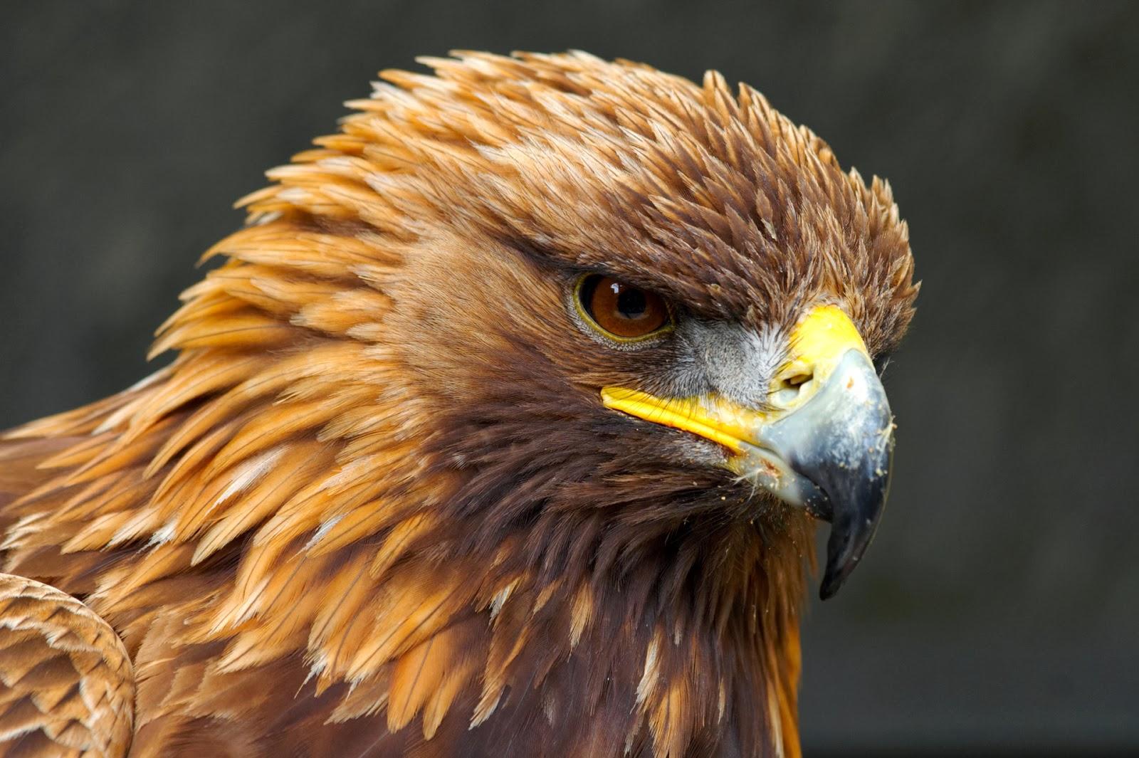 Free Golden Eagles