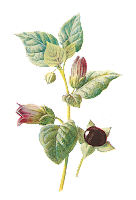 flower wildflower deadly nightshade image illustration clipart digital