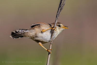 Cisticola in the Table Bay Nature Reserve