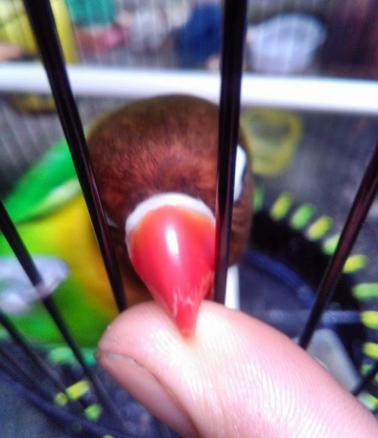 Burung lovebird galak suka menggigit tangan karena overbirahi