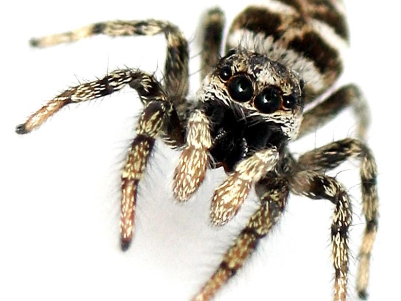 Arañas: Araña Cebra