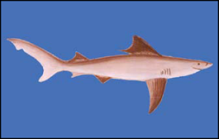The Ganges Shark, Glyphis gangeticus, critically endangered fish
