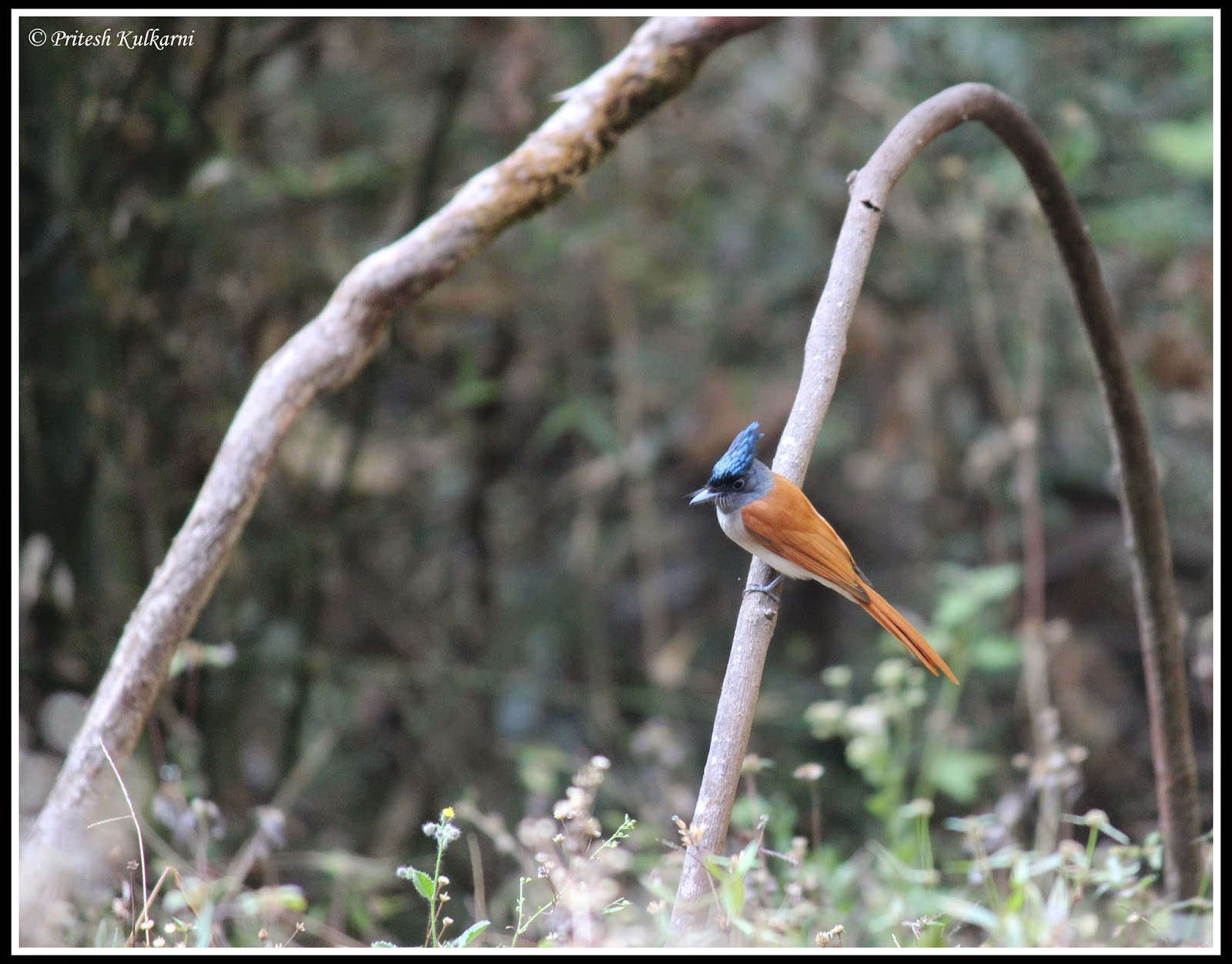 Asian Paradise Flycatcher Female at Old Magazine House
