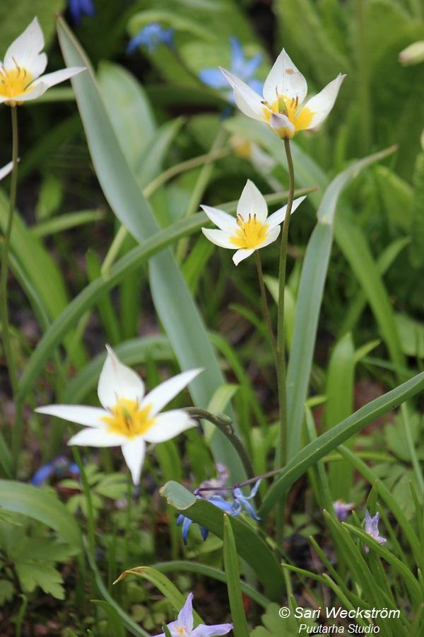 Sarin puutarhat: Pitkäikäisimmät tulppaanit