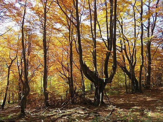 Złocisty las na Połoninie Caryńskiej.