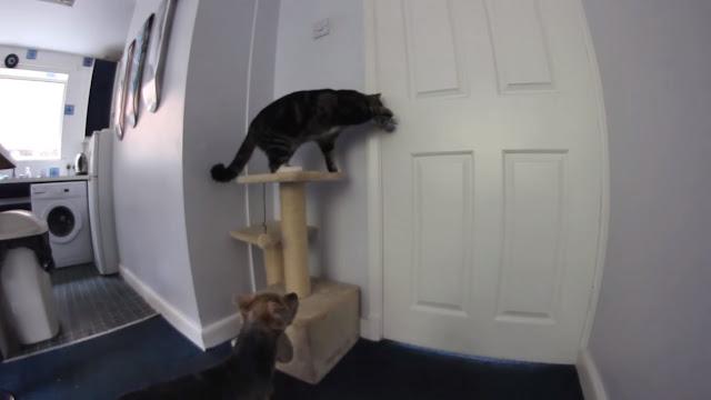 Dexter Kitchen Black Sink Lowes 愛貓網 超完美脫逃 貓幫狗開門 影片中 只見德克斯特跳上門旁的貓跳台 運用靈活的雙手 不太費力地就扭開了喇叭鎖 過程中 吉茲莫很乖巧地盯著門等待著 當看見門打開了 便一溜煙逃出廚房 反而是