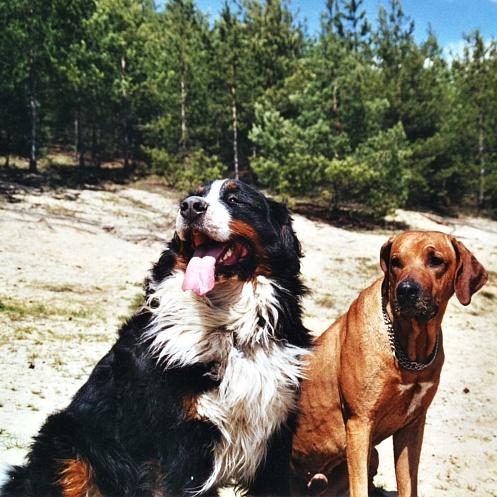 Rhodesian ridgeback and Bernese Mountain dog