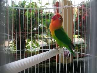 Burung Lovebird - Perawatan Harian Burung Lovebird yang Mudah dan Gampang Dilakukan - Penangkaran Burung Lovebird