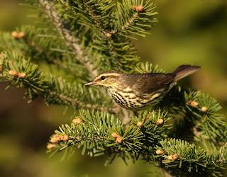 Northern Waterthrush while birding in Newfoundland
