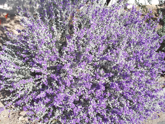 A Full-grown Texas Sage Used In A Landscaping Application