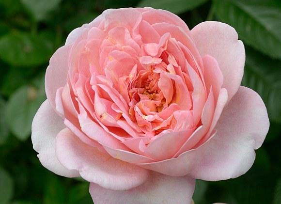 Boscobel сорт розы фото Остин купить саженцы Минск