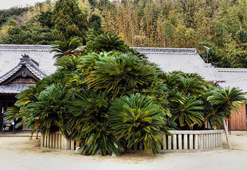 Giant sago palm at Seigantoji, Shodoshima.
