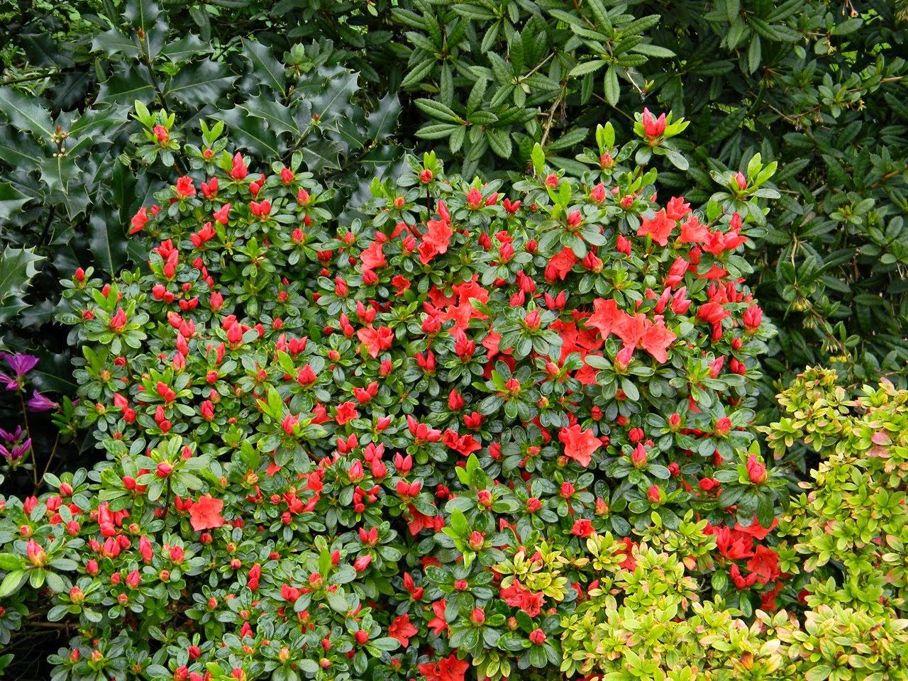 czerwone kwiaty, Kórnik, arboretum, krzewy
