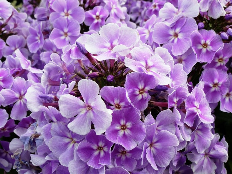 flores color púrpura de phlox paniculata