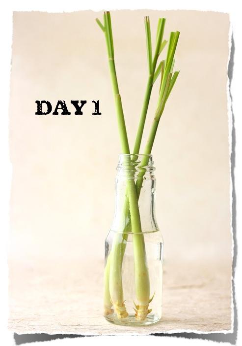 How to grow Lemongrass by SeasonWithSpice.com