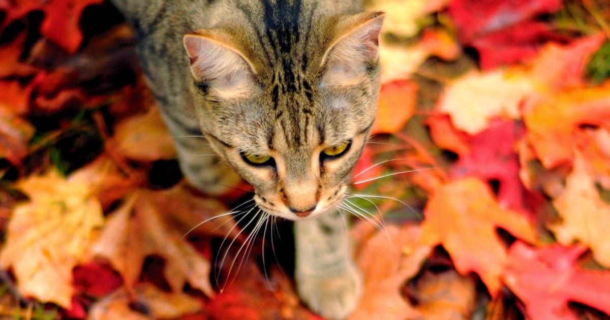 Autumn Falling Leaves Wallpaper Katten Wallpapers Met Herfstbladeren Hd Wallpapers