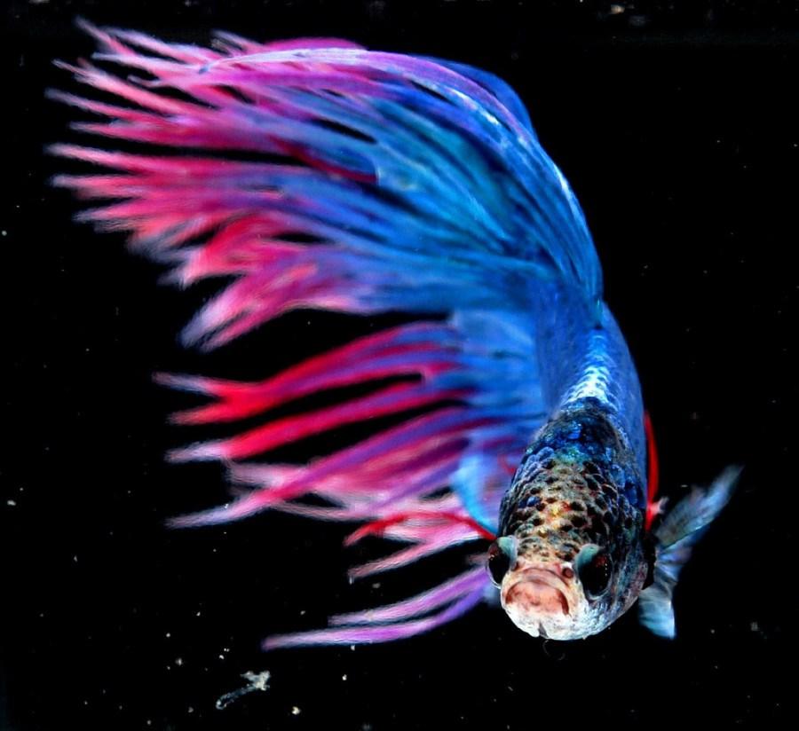 Ikan Cupang Crowntail