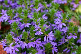 Scaevola-purple%2Bfanfare.jpg