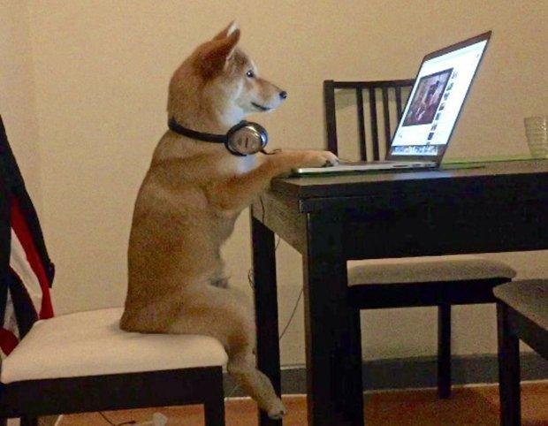 Nhìn em chó shiba này ngồi xem phim trông đáng yêu không chịu được