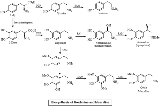 Biosynthesis of Hordenine and Mescaline