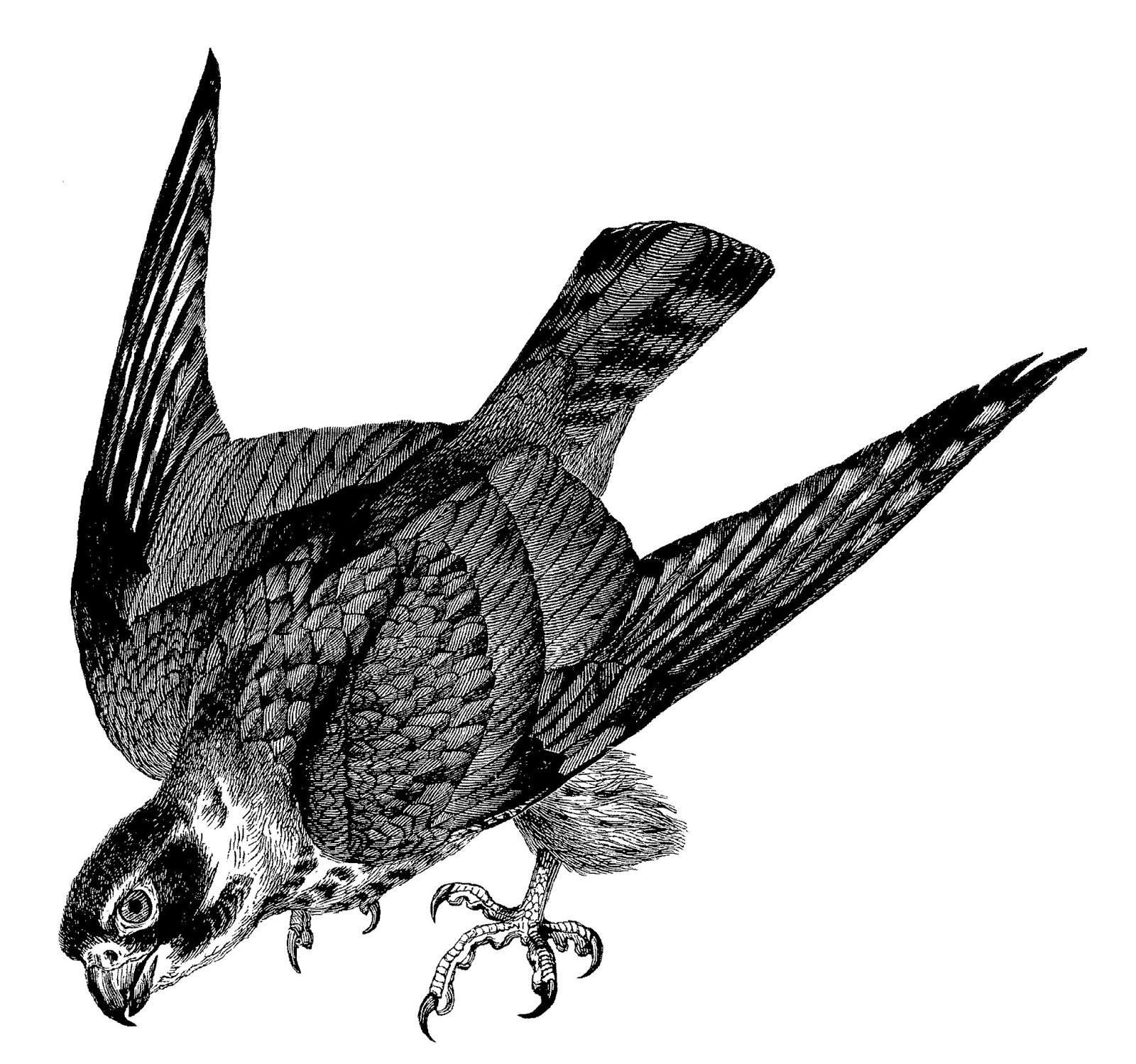 flying falcon clip art - HD1600×1498