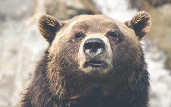 Wallpaper: Grizzly bear portrait