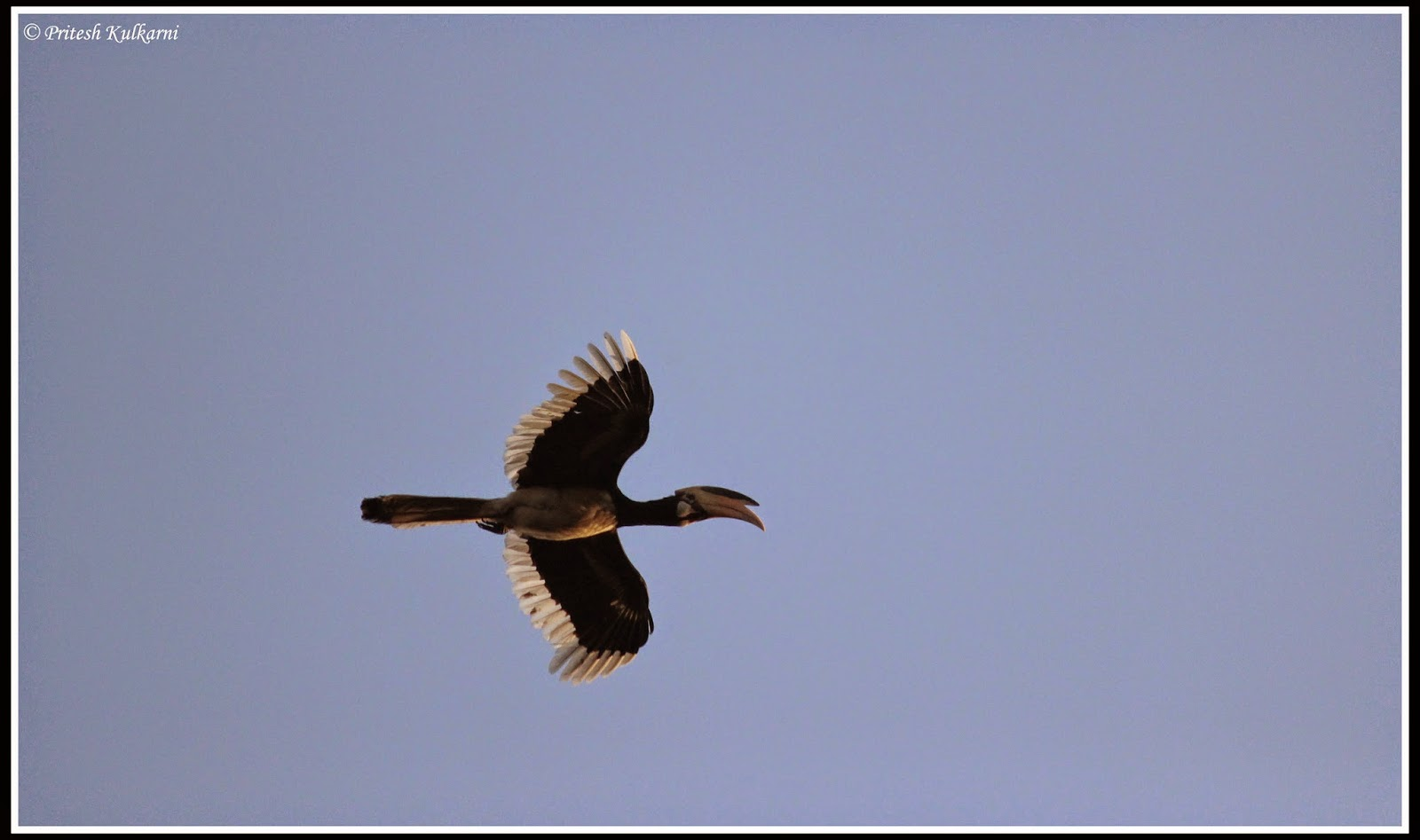 Malabar Pied Hornbill at Old Magazine House