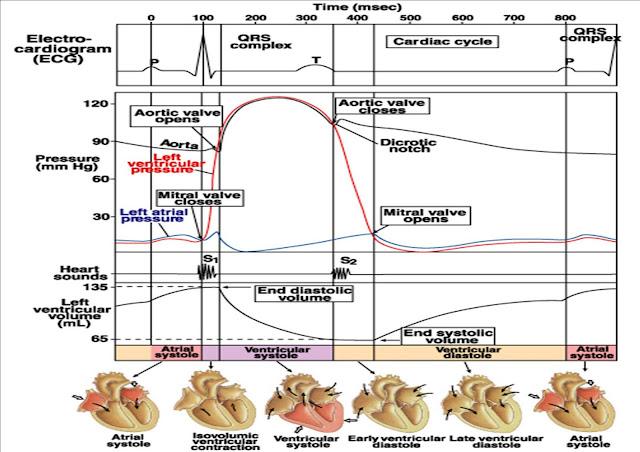 Mekanisme Sistem Konduksi, Kontraksi, Suara, dan Fase Kontraksi Jantung